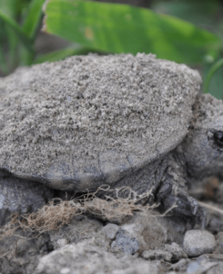 Hatchling snapping turtle moments after emerging from its nest in Shelburne VT - Photo by Patrick Perry