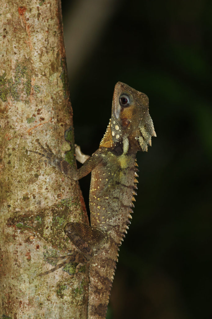 A Boyd's Forest Dragon (Hypsilurus boydii) from northeastern  Queensland, Australia. These lizards inhabit tropical rainforests,  spending a majority of their time perched vertically on tree trunks.  Their excellent camouflage helps them avoid potential predators.
