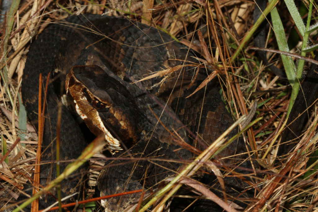 Cottonmouth in typical ambush position near the edge of a drift fence – Houston Chandler